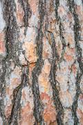 Bark texture background Scots pine - stock photo