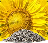 Close up yellow sunflowers and dry seed on white background use for clean and Stock Photos
