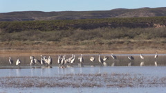 Sandhill Cranes at Bosque Del Apache NWR Stock Footage