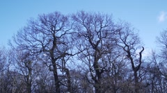 Three huge trees without leaves with blue sky background,Birds fly around Stock Footage