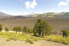 Araucarias in malalcahuello park, chile Stock Photos
