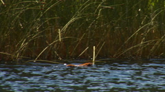 Muskrat swimming by reeds in a lake Stock Footage