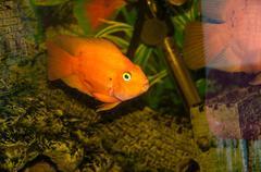Goldfish in Aquarium Kuvituskuvat