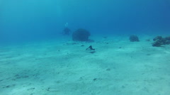 Stingray. Red sea Stock Footage