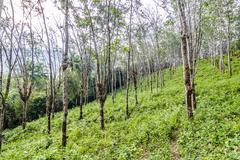 rubber tree plantation in thailand - stock photo