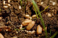 Ant eggs Stock Photos