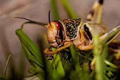 One locust eating Stock Photos