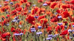 Blooming poppies and cornflowers swaying in the wind, 23 Stock Footage