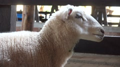Sheep, Lambs, Livestock, Farm Animals - stock footage