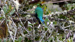 Stock Video Footage of Resplendent Quetzal Has Its Own Back MS