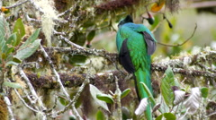 Resplendent Quetzal Reveals Rarely-seen Feathers Stock Footage
