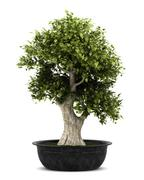 bonsai plant in pot isolated on white background - stock illustration