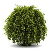 common hornbeam bush isolated on white background - stock illustration
