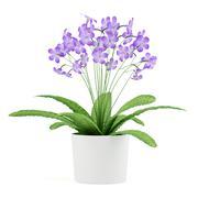 purple streptocarpus flowers in pot isolated on white background - stock illustration