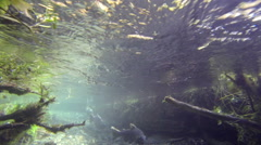 Coho Salmon Return Home to Spawn Stock Footage