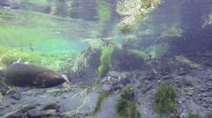 Zombie, Fish, Coho, Salmon, Spawn, HD Stock Footage