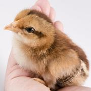 Cute little chicken in the hand isolated on white - stock photo