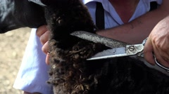 Shearing Sheep, Wool, Shears, Scissors - stock footage