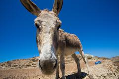 Funny close-up from a head of a mule. - stock photo