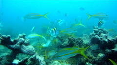 Feeding Frenzy at Looe Key Reef Stock Footage
