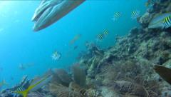 Barracuda Swims By Stock Footage