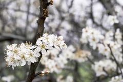 Blackt-horn blossom - stock photo