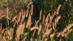 Blown flower grass in the field Stock Footage