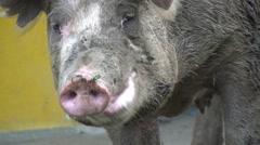 Pigs, Piglets, Hogs, Farm Animals Stock Footage
