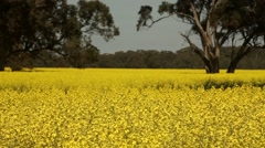 Canola, rapessed field in bloom Stock Footage