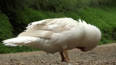 Waterfowl, Birds, Animals, Nature, Wildlife Stock Footage