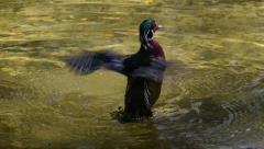 Carolina duck Stock Footage