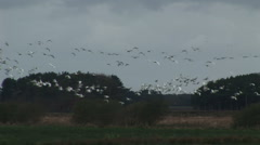 Flock swans and geese on migration close up Stock Footage