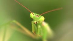 Praying Mantis 03 Stock Footage