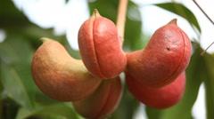 Indian Ayurveda Medicated Fruits Stock Footage