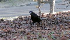 Crow looking for food Stock Footage