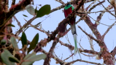 Stock Video Footage of Resplendent Quetzal Top to Tail Responds to Call