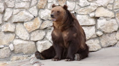 Brown bear female is lifting her paw. - stock footage