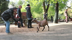 Couple at petting zoo with sheeps Stock Footage