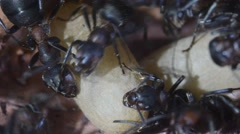 Ant, wood ant, underground, artificial anthill, Formica rufa, Stock Footage