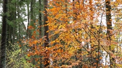 Stock Video Footage of Amazing golden leaves in autumn