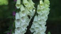Honey bee visiting tubular white flowers of Digitalis purpurea or Foxglove Stock Footage