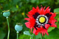 opium poppy - papaver somniferum - stock photo