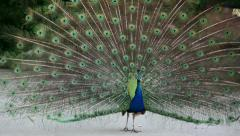 Peacock displaying his colorful feathered tail in street! Stock Footage