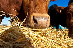Friendly cattle on straw with blue sky Stock Photos