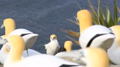Solitary gannet amongst decoys - stock footage