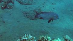 Cleaner fish symbiosis Stock Footage