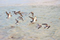 Flock of Tringa flying over the sea. Stock Photos