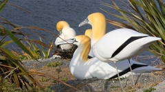 Solitary gannet amongst decoys Stock Footage