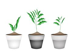 Fresh Cardamon Plant in Ceramic Flower Pots Stock Illustration