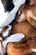 baby goat sleep in the farm - stock photo